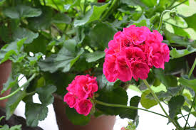 Plants To Keep In Bathroom Geraniums How To Plant Grow And Care For Geraniums The Old