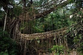 vagaries rainman the living bridges of cherrapunji