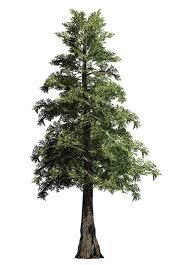 big trees inc transplants 30 foot western cedar tree big