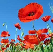 download wallpaper poppies field sky green summer vacation hd
