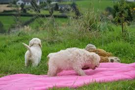 belgian shepherd gumtree dogs for sale in northern ireland belfasttelegraph co uk classifieds