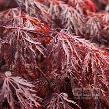 acer inaba shidare japanese maple mail order trees