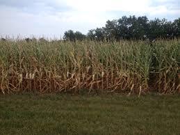 corn growing for tomorrow