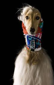 afghan hound snood afghan hounds pose in chic headscarf collection style life