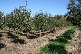 growing shade trees and ornamental trees trees for sale