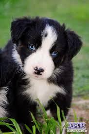 lazy d ranch australian shepherds best 25 aussie puppies ideas on pinterest puppies australian