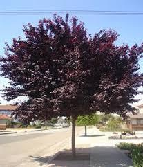 decorative plum trees solidaria garden