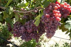 table grapes agriculture and food