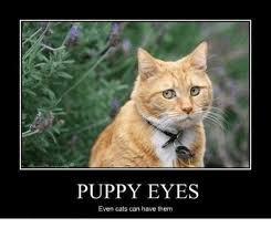 Puppy Eyes Meme - puppy eyes even cats can have them cats meme on me me
