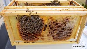 how to autopsy a honey bee colony beverly bees