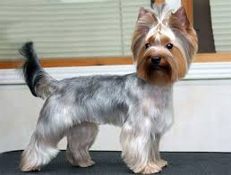 yorkie hair cut chart 97 best hair cuts images on pinterest dog grooming styles pet