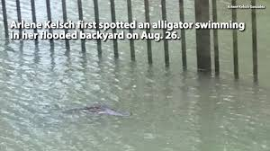 alligators in metro houston floodwaters making conditions even