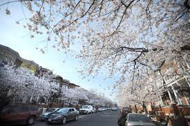 Cherry Blossom Tree Facts by In West Baltimore Residents See Cherry Blossoms As Sign Of Hope
