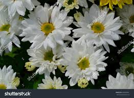 these white flowers has yellow pollen stock photo 582694981