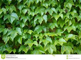 english ivy is a clinging evergreen vine plant stock photo image