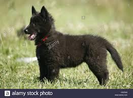 belgian sheepdog groenendael rescue groenendael stock photos u0026 groenendael stock images alamy