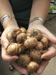 curing crocus bulbs when to dig up crocus bulbs for storage