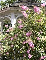 best performing hardy shrubs for northern and midwest gardens
