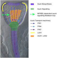 plant embryogenesis requires aux lax mediated auxin influx
