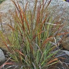 ornamental grasses nessralla s farm of marshfield garden center