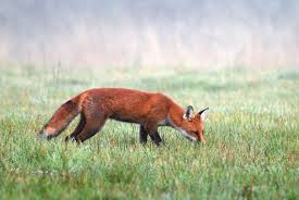 fox hunting tips hunter s guide for success