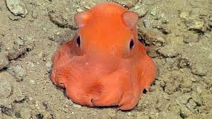 video adorable new octopus discovered in monterey bay abc7 com