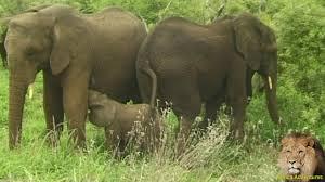 feeding tiny baby elephants youtube