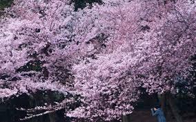the cherry blossoms finally hit peak bloom in washington d c