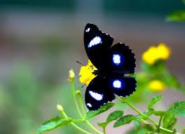 treknature black butterfly wing spread photo