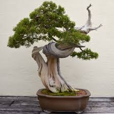 juniper bonsai trees