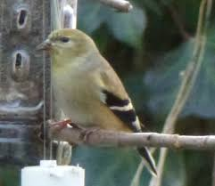 Nj Backyard Birds by Friends Of The East Brunswick Environmental Commission Backyard