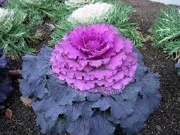 30 purple prince flowering kale annual flower seeds