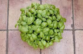 basilico in vaso malattie come coltivare il basilico in vaso sul balcone non sprecare