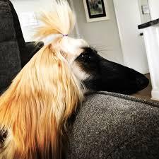 afghan hound adoption florida fundraiser for elyse smith by garnet thompson get stella back on