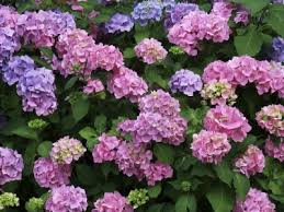 hydrangea flowers how to grow and care for hydrangeas
