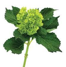wholesale hydrangeas 21 best flowers green images on green flowers