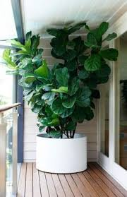 the 25 best fiddle leaf tree ideas on fig plant