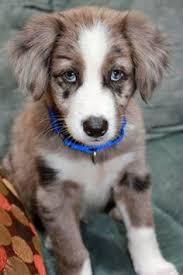 5280 australian shepherd pinterest u2022 the world u0027s catalog of ideas