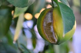 When Does A Lemon Tree Produce Fruit - what does all this rain mean for your citrus trees food forward