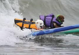 american eskimo dog rescue colorado a 15 pound toy american eskimo again grabs the crown at surf