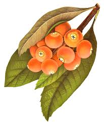 antique images free printable fruit image rowan berry artwork