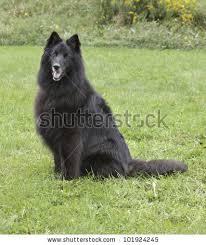 belgian shepherd black belgian sheepdog stock images royalty free images u0026 vectors