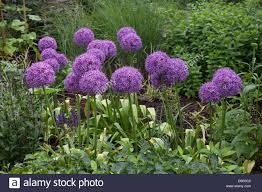 allums in flower avenue gardens regents park london stock photo
