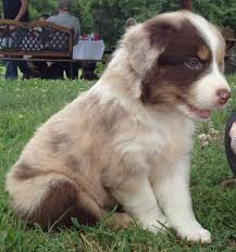 australian shepherd breeders near me ridgehaven farms linden tennessee