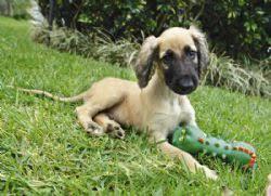 afghan hound rescue england afghan hound breed information u0026 pictures baluchi hound tazi