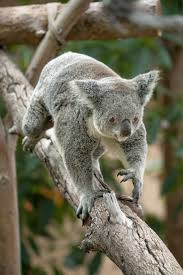 139 best koalafornia images on pinterest koala bears koalas and
