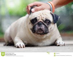 cute pug dog stock photo image 57582344