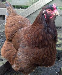 3 rare chicken breeds you need to raise farming my backyard