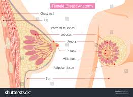 Female Breast Anatomy And Physiology Cross Section Female Breast Anatomy Mammary Stock Vector 678261625