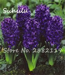 Fragrant Potted Plants - online shop multi color mixing grape hyacinths flower 20 pcs